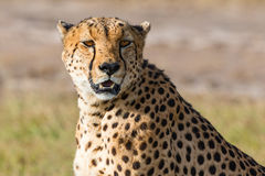Cheetah sitts and watching Stock Photo