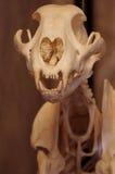 Cheetah skeleton Stock Image