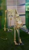 Cheetah skeleton bone Stock Photography