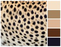 Cheetah skin texture with palette color swatches Royalty Free Stock Image