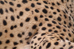 Cheetah Skin Stock Image