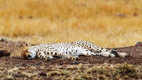Cheetah Sleeping in Africa. Cheetah cat lying down sleeping in a tall grass field in the Masai Mara of Kenya, Africa Royalty Free Stock Photography
