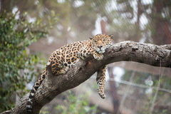 Cheetah sleeping on the tree in zoo Royalty Free Stock Photography
