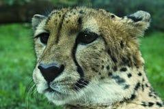 Cheetah slim. You can see detail head feline stock photos