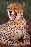Cheetah snarling 1. Found this cheetah resting early one morning while on a game drive. She was not happy to see us Royalty Free Stock Image