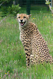 Cheetah, snarling Stock Images