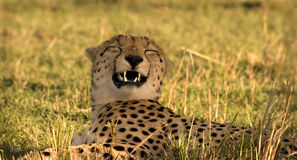 Cheetah sniffing Royalty Free Stock Images