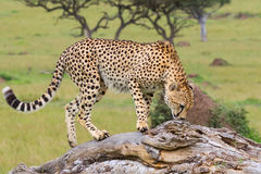 Cheetah, Sniffing Scents, Masai Mara. A lone Cheetah, sniffing for competitor`s scent marking on a fallen tree in Masai Mara, Kenya. It`s long striped tail Royalty Free Stock Image