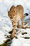 Cheetah in snow Royalty Free Stock Images
