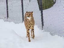 Cheetah in snow in zoo. royalty free stock photography