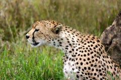 cheetah som håller watchen Arkivfoto