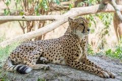 Cheetah som ligger i skugga Royaltyfri Fotografi