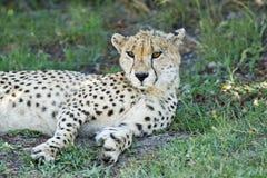 Cheetah som ligger i skugga Arkivbilder