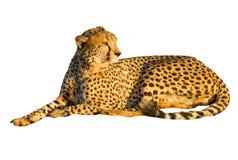 cheetah som ligger ner Royaltyfri Fotografi