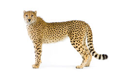 cheetah som plattforer upp arkivfoto