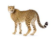 cheetah som plattforer upp Arkivfoton