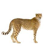 cheetah som plattforer upp royaltyfri bild