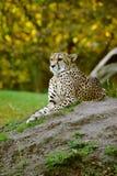 cheetah som ser majestätisk Arkivfoto