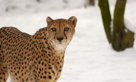 cheetah som straight ser dig arkivfoton