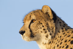 Cheetah, South Africa. Cheetah portrait (Acinonyx jubatus) in South Africa Royalty Free Stock Image