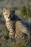 Cheetah, South Africa Royalty Free Stock Photo
