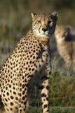 Cheetah, South Africa Stock Photos