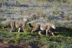 Cheetah, South Africa Stock Photography