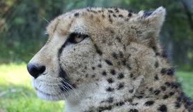 Cheetah from South Africa Stock Photo