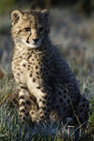 Cheetah, South Africa Royalty Free Stock Photos