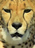 Cheetah from South Africa Royalty Free Stock Photo