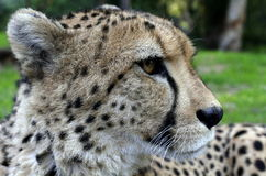 Cheetah from South Africa Stock Photos