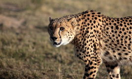 Cheetah from South Africa Royalty Free Stock Photos