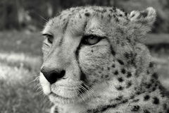 Cheetah from South Africa Royalty Free Stock Images