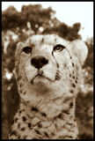 Cheetah from South Africa Stock Photography
