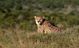 Cheetah in South Africa Royalty Free Stock Photos