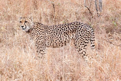 Cheetah, South Africa Stock Photo