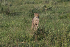 Cheetah. South African Cheetah ranges throughout the Welgevonden Game Reserve in South Africa Stock Photography