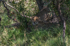 Cheetah. South African Cheetah ranges throughout the Welgevonden Game Reserve in South Africa Stock Photos