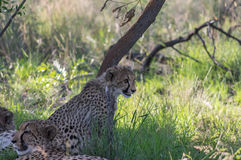 Cheetah. South African Cheetah's relax after feeding in the Welgevonden Game Reserve in South Africa Stock Images