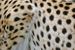 Cheetah Spots. Royalty Free Stock Photography