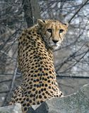 Cheetah. Spotty predator graceful impetuous lean canines Royalty Free Stock Photography