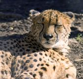 Cheetah. Spotty predator speed safari impetuous canines Stock Photography