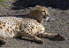 Cheetah. Spotty predator speed safari impetuous canines Royalty Free Stock Image