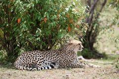 Cheetah Stock Photo