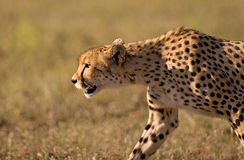 Cheetah stalk. A close up of a stalking cheetah in late afternoon light Stock Photo