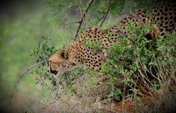 Cheetah stalking downhill stock images
