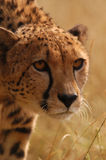 Cheetah Stalking. Cheetah, stalking through long savannah grass royalty free stock photo