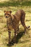 Cheetah Standing. In the sun Stock Photography