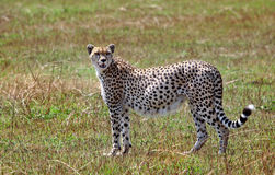 cheetah standing on the african plains Stock Images
