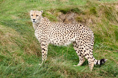 Cheetah Standing Against Grassy Bank Stock Photo